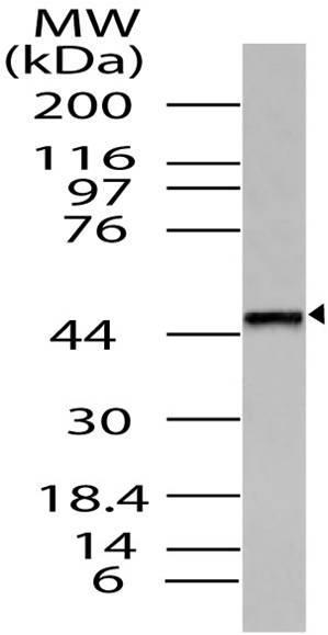 Polyclonal Antibody to TRH-R