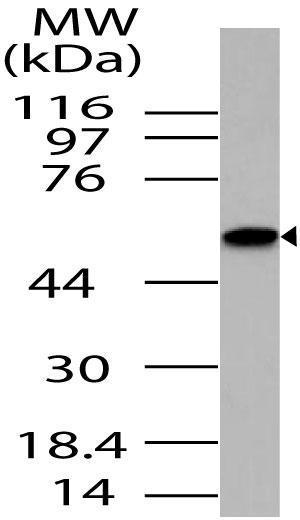 Polyclonal Antibody to SAPK interacting protein 1/Mip1