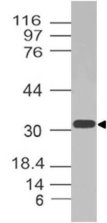 Polyclonal Antibody to GPR35