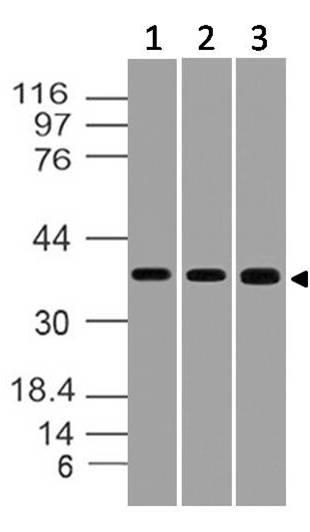 Polyclonal Antibody to STRAP