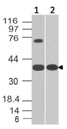 Polyclonal Antibody to GPR18