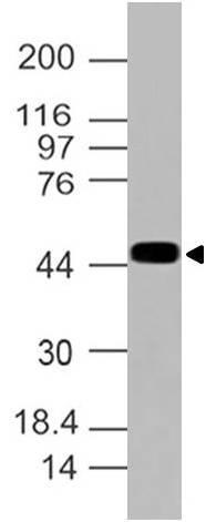 Polyclonal Antibody to eIF4A2