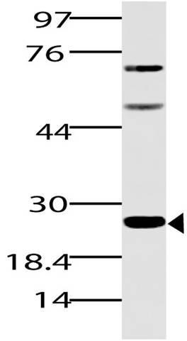Polyclonal Antibody to Spi-B