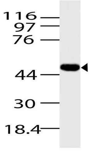 Polyclonal Antibody to Beta-arrestin 1