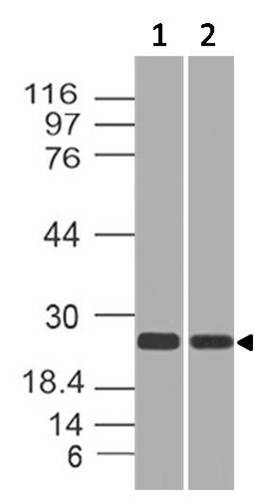 Polyclonal Antibody to RAP2A