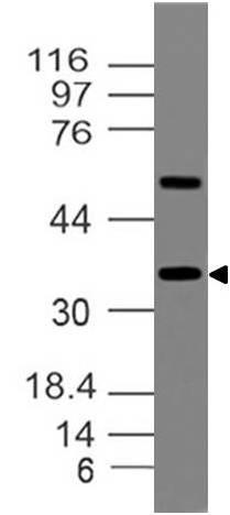 Polyclonal Antibody to Mafa