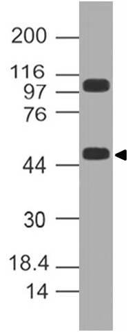 Polyclonal Antibody to KLF10