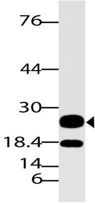 Polyclonal Antibody to Neurog 3/Ngn 3