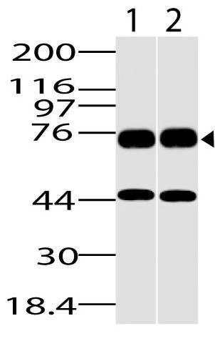 Polyclonal Antibody to DDX18