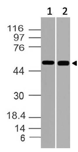 Polyclonal Antibody to RuvB-like 1