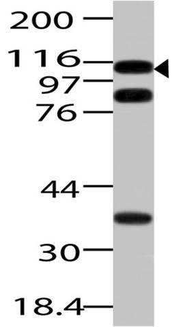 Polyclonal Antibody to Importin 7