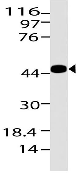 Polyclonal Antibody to S1PR1
