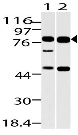 Polyclonal Antibody to Dach1