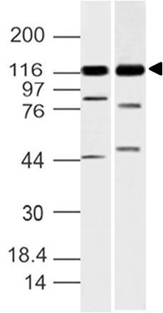 Polyclonal Antibody to Grb2-associated binder 1