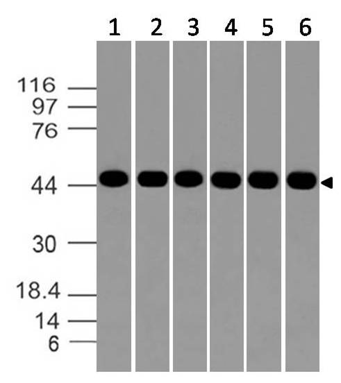 Polyclonal Antibody to Aurora kinase-A