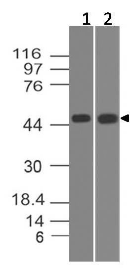 Polyclonal Antibody to STRAD