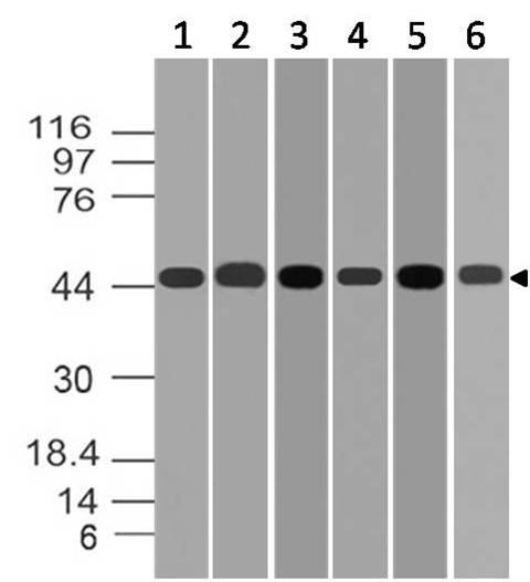 Polyclonal Antibody to MEK2