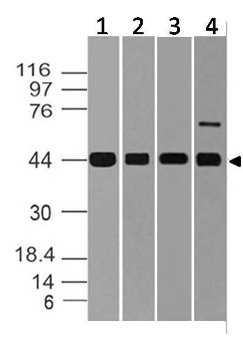 Polyclonal Antibody to ERK1/ MAPK3
