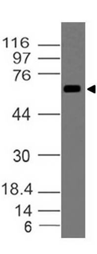 Polyclonal Antibody to DUSP8