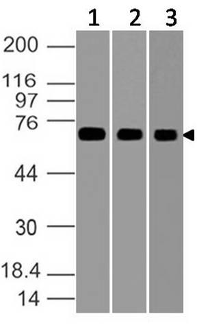 Polyclonal Antibody to GRP78