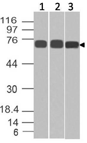 Polyclonal Antibody to Lamin A/C