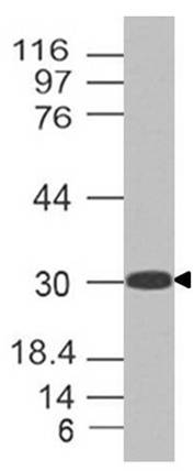 Polyclonal Antibody to m Kit ligand