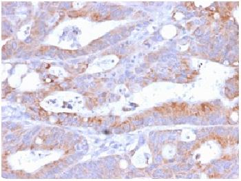 Anti-CD86 (Dendritic Cells Maturation Marker) Recombinant Rabbit Monoclonal Antibody (Clone:C86/2160R)