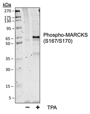 Phospho-MARCKS (Ser167/170) (Clone: C9) rabbit mAb