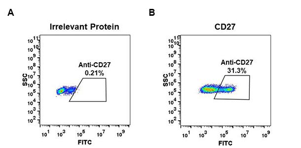 Anti-CD27 antibody(DM58), Rabbit mAb