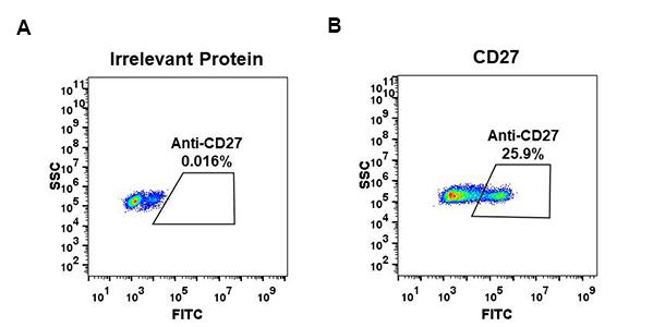 Anti-CD27 antibody(DM59), Rabbit mAb