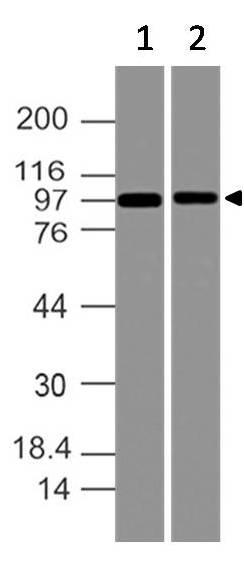 Polyclonal antibody to CARD6 (CARD2)