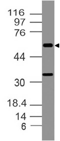 Polyclonal antibody to Caspase-10/FLICE2