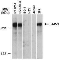 Polyclonal antibody to PTPN13/PTPL1 (FAP1)