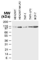 Polyclonal antibody to NLRP2/NALP2 (PAN1)