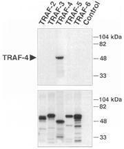 Polyclonal antibody to TRAF-4