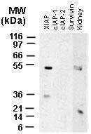 Polyclonal antibody to XIAP