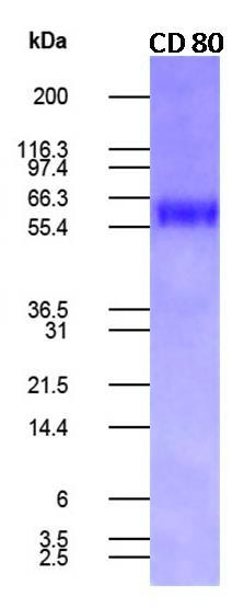 Human CD80 Recombinant Fc fusion Protein (Active)