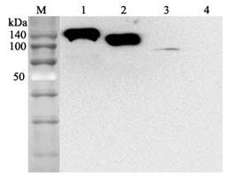 Anti-ACE2 (human), mAb (Clone: AC384) Biotinylated