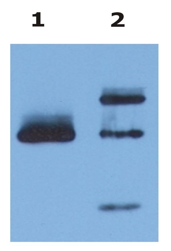 Azide free Anti-HLA-G Monoclonal Antibody (Clone:MEM-G/9)