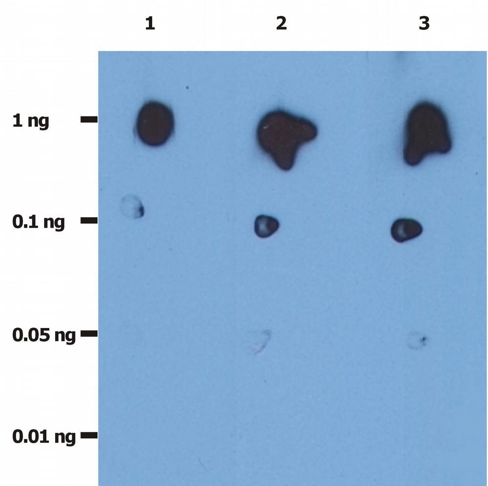 Anti-HIV protease Monoclonal Antibody (Clone:1696)-Azide free