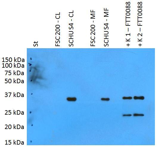 Anti-Francisella tularensis ssp. tularensis antigen PilT Polyclonal Antibody