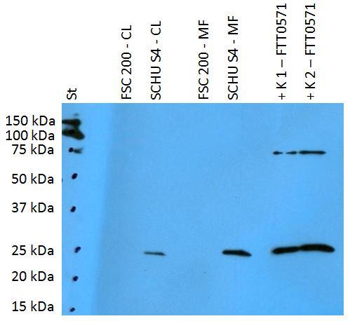 Anti-Francisella tularensis ssp. tularensis antigen FTT0571 Polyclonal Antibody