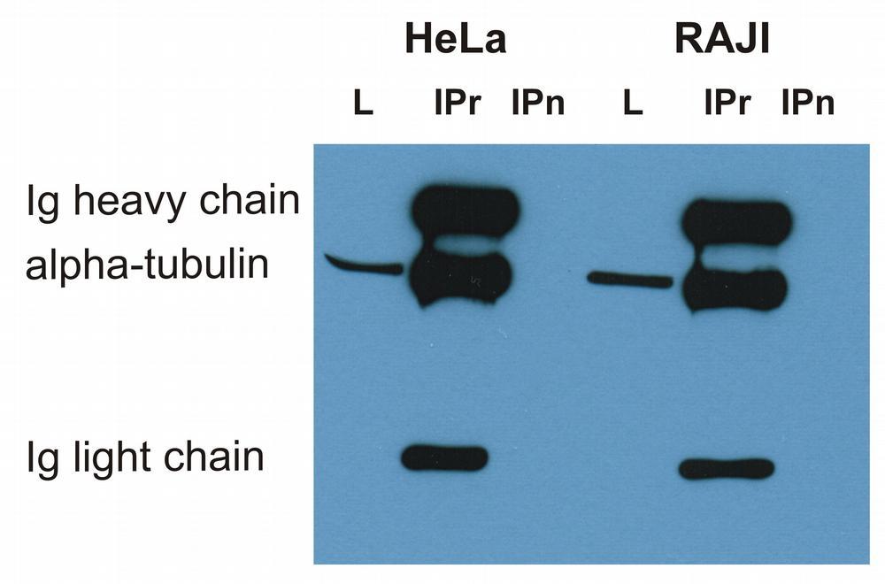 Anti-alpha-tubulin Monoclonal Antibody (Clone:TU-16)