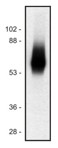 Anti-TRIM / TRAT1 Monoclonal Antibody (Clone:TRIM-04)