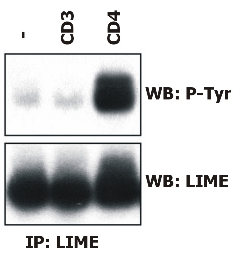 Anti-LIME Monoclonal Antibody (Clone:LIME-06)