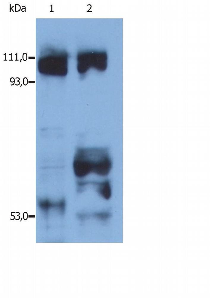 Anti-Kinesin Polyclonal Antibody