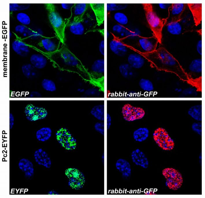 Anti-GFP / Green Fluorescent Protein Polyclonal Antibody