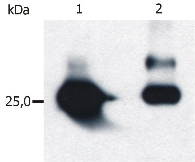 Anti-GST / Glutathione-S-Transferase, GST tag Monoclonal Antibody (Clone:S-tag-05)