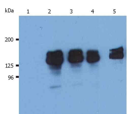 Anti-SHIP-1 Monoclonal Antibody (Clone:SHIP-02)