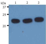 Anti-H-Ras Monoclonal Antibody (Clone:H-RAS-03)